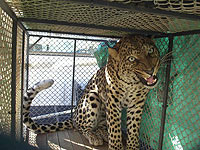 Rescued leopard